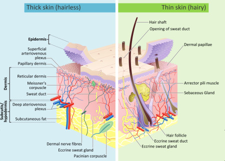 A diagram of epidermal hair follicle development, as affected by the thickness of the epidermal layers. Creative Commons license.