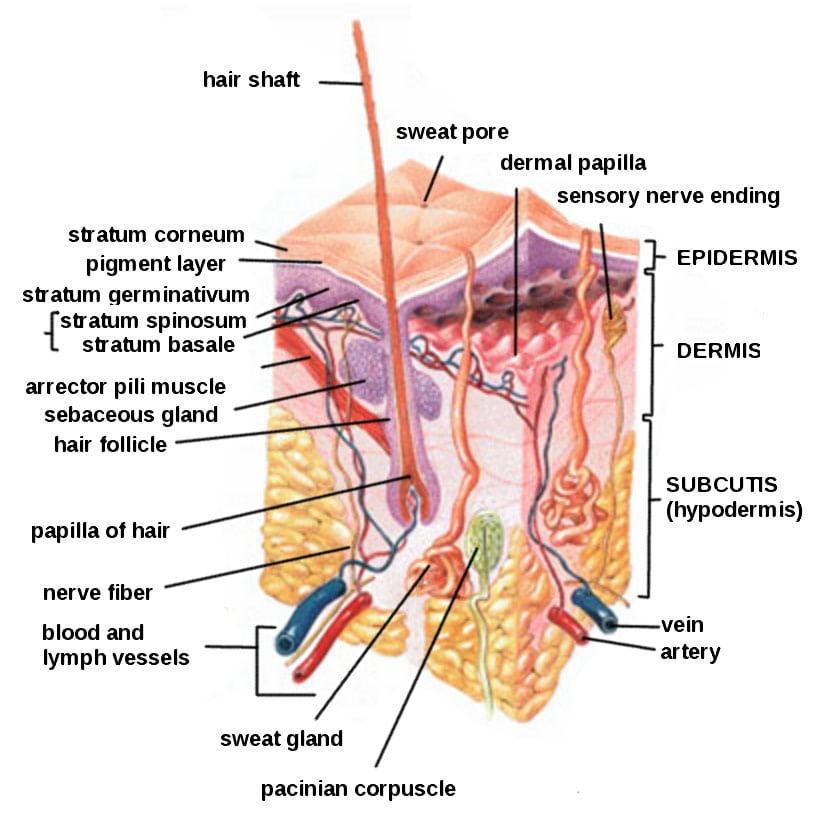 Skin structure diagram quizlet wiring library genetics of skin cancer southeast radiation oncology group p a rh treatcancer com heart diagram quizlet skin ccuart Gallery